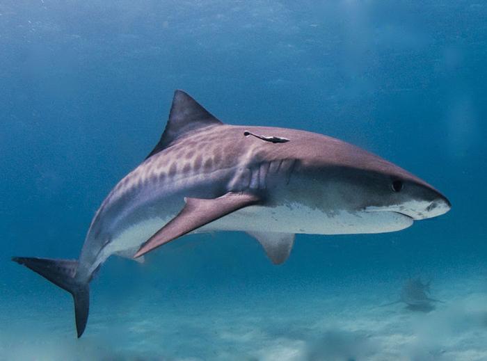 «Акулы! Правители морей 3D» от BBC Earth и Giant Screen Films