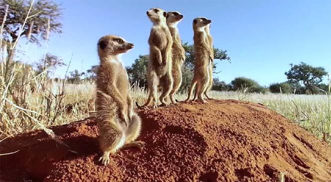 «Сурикаты Калахари 3D»: YouTube стерео 3D-трейлер к документалке (Kalahari Meerkats 3D)
